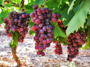 grapes-wine-chios-mesta